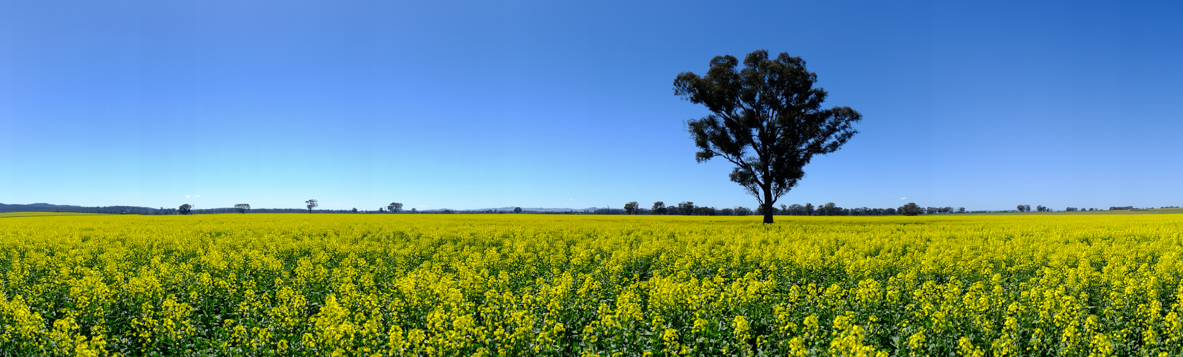 Canola_pano (1 of 1)