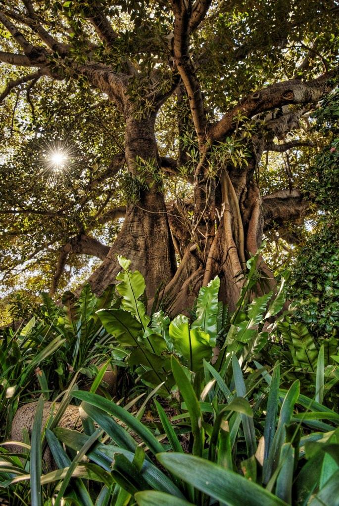 Twisted Tree Banyan